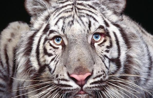 Картинка глаза, взгляд, хищник, белый тигр