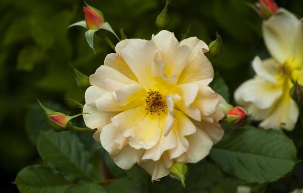 Картинка макро, роза, лепестки, бутоны, жёлтая роза