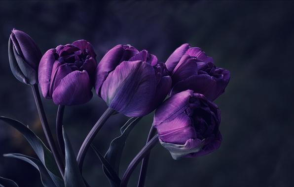 Цветы тюльпаны фиолетовые обои фото