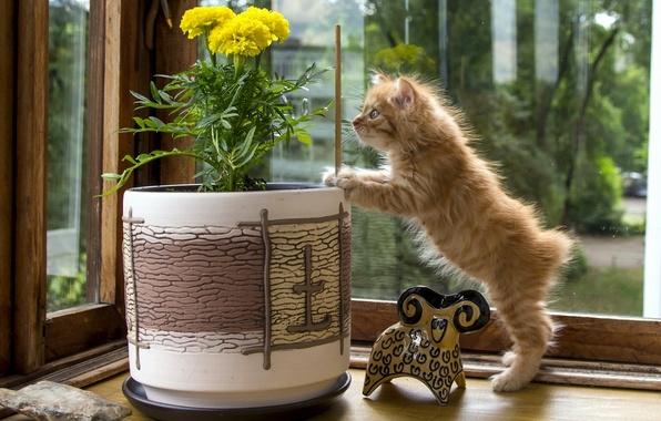 Картинка цветок, статуэтка, котёнок, любопытство, вазон, Курильский бобтейл