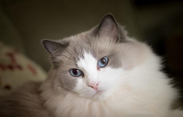 Картинка кошка, взгляд, мордочка, голубые глаза, пушистая, Рэгдолл