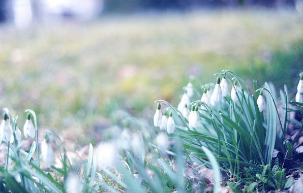 Картинка трава, макро, цветы, фото, обои, весна, размытость, подснежники, первоцветы, боке