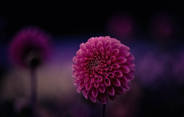 Картинка цветок, фиолетовый, макро, фон, фокус, лепестки, малиновый, Георгин