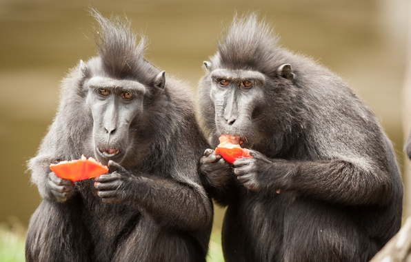 Картинка природа, фон, обезьяны