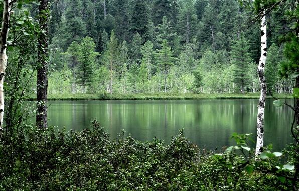 Картинка лес, лето, вода, деревья, природа, отражение, берёзы