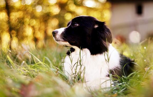 Картинка трава, собака, боке, Border Collie, бордер колли