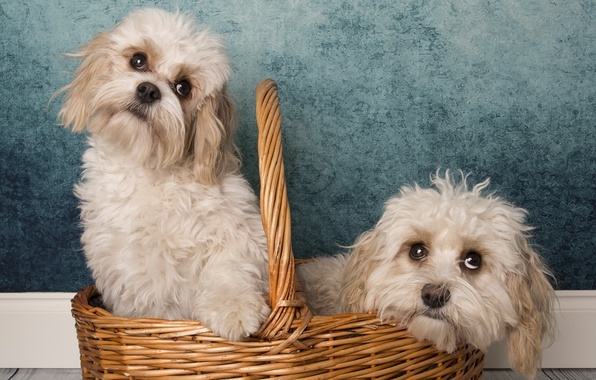 Фото обои фон, корзина, собаки