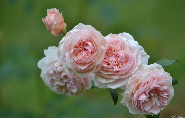 Картинка розы, лепестки, бутон