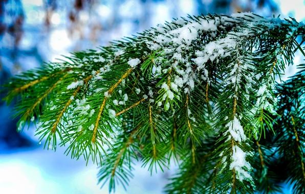 Картинка зима, макро, снег, иголки, природа, дерево, ель, Ветки, хвоя, боке