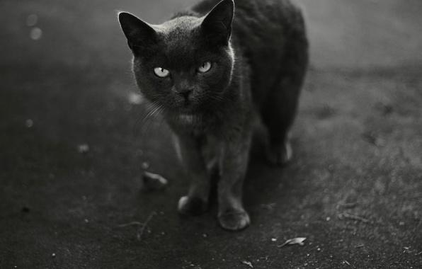 Фото обои черно-белое, смотрит, кот