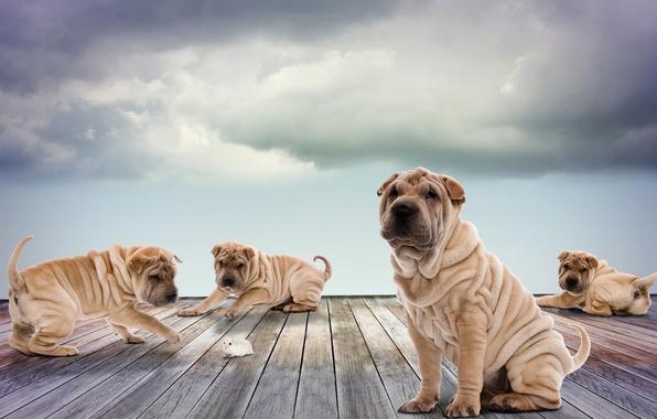 Картинка собаки, небо, облака, доски, фотошоп, хомяк, щенки, играют, Шарпей
