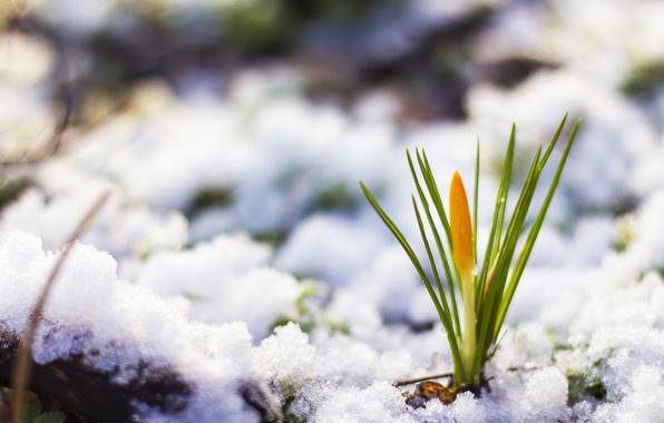 Картинка снег, природа, весна, flower, nature, snow, spring, цветочек, желтый крокус, yellow Crocus