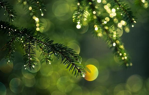 Картинка капли, макро, свет, иголки, ветки, блики, цвет, ель, ветка, зеленые