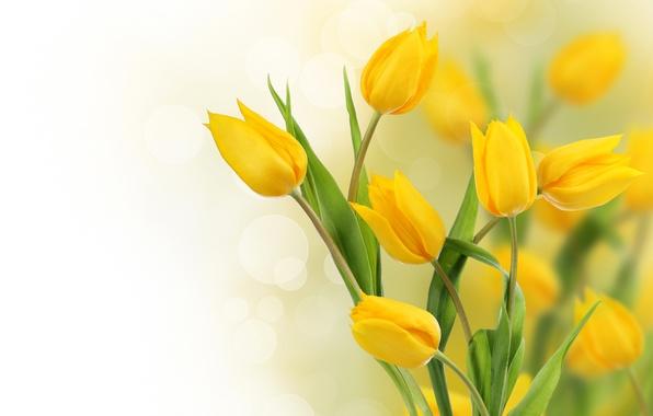 Фото обои фото, Цветы, Желтый, Тюльпаны