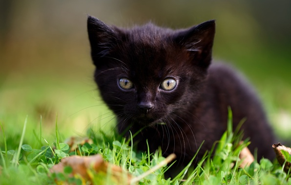 Картинка трава, взгляд, малыш, мордочка, котёнок, чёрный котёнок