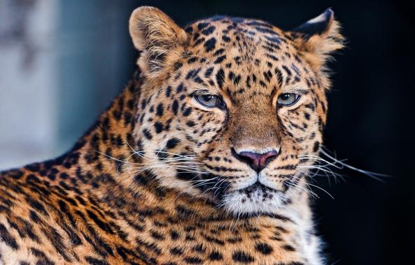 Картинка усы, взгляд, морда, леопард, лежит, leopard, красивый, грустный, тёмный фон, большая пятнистая кошка, panthera pardus