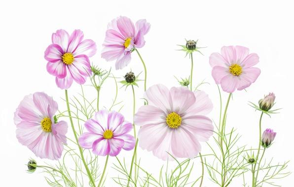 Картинка макро, краски, растение, лепестки, космея