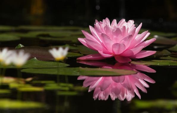Картинка цветок, озеро, розовый, нежность, Природа, красота, лепестки, лотос, кувшинка, водная лилия