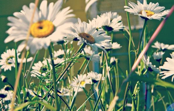 Картинка зелень, лето, ромашки, лепестки