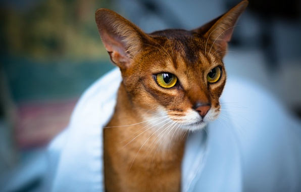 Картинка кошка, глаза, взгляд, полотенце, Кот, мордочка, уши