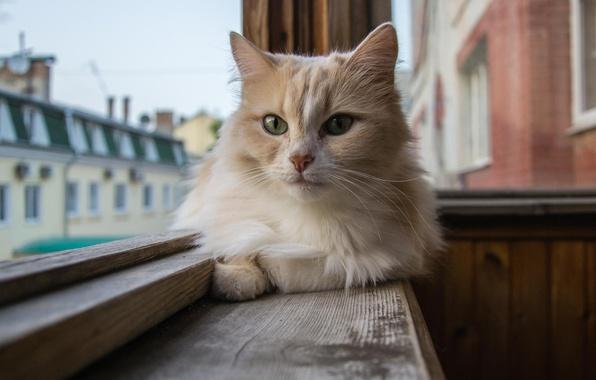 Картинка взгляд, шерсть, Кот, окно