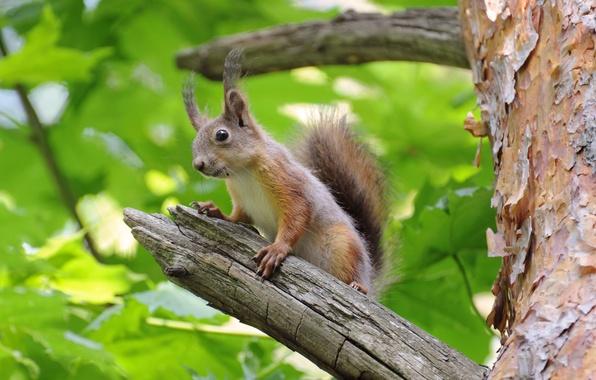 Картинка ветки, дерево, белка, wood, branches, squirrel