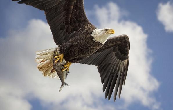 Картинка небо, птица, крылья, рыба, хищник, полёт, добыча, Белоголовый орлан, улов