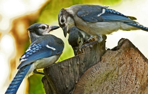 Картинка макро, птицы, пень, размытость, три, пенёк, Blue Jay
