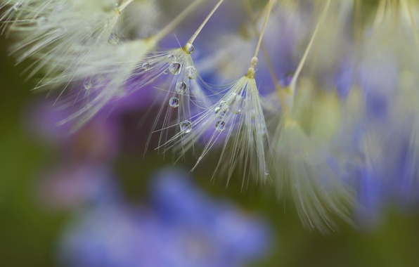 Картинка макро, роса, одуванчик, капля, семена