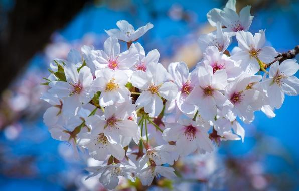 Картинка макро, вишня, ветка, весна, сакура, цветение, цветки