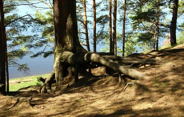 Картинка лес, деревья, природа, корни, река, берег, утро, прогулка, сосна