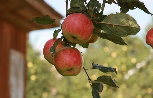 Картинка лето, макро, природа, фон, обои, яблоки, ветка, сад, деревня, фрукты, яблоня