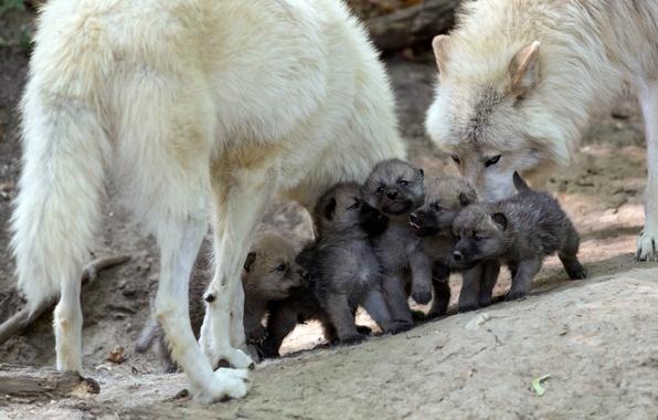 Gray wolf  mammal  Britannicacom