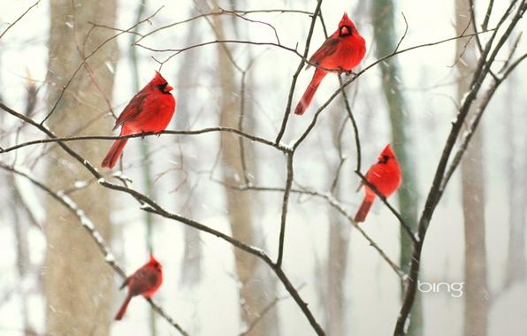Картинка зима, лес, снег, птицы, парк, дерево, обои, ветка, кардинал