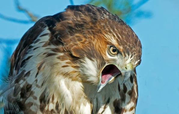 Картинка взгляд, птица, хищник, перья, клюв, ястреб