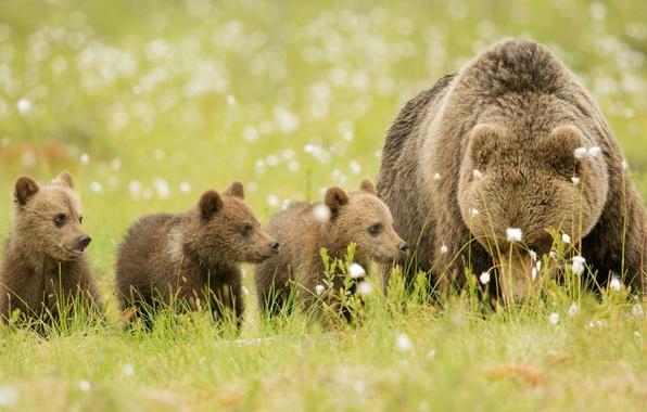 Картинка отдых, поляна, семья, медведи, медвежата, brown, медведица, природа., bears, бурые