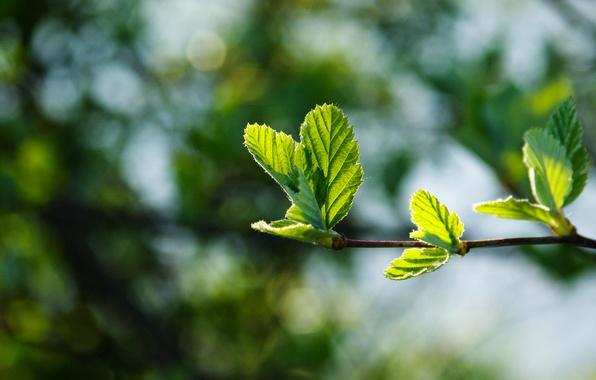 Картинка макро, блики, фон, листва, ветка, весна, красивая, зеленая, молодая, сочная