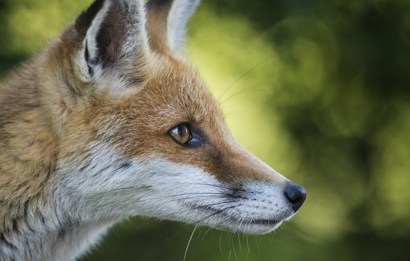 Картинка животное, рыжий, мордочка, лиса, уши, лисёнок
