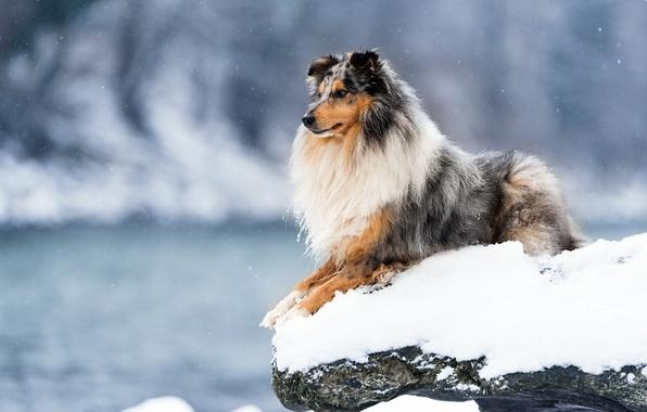 Картинка зима, взгляд, снег, друг, собака