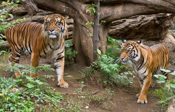 Картинка кошка, трава, тигр, пара, суматранский