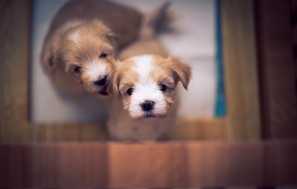 Картинка puppy, dog, bokeh, cute, bichon