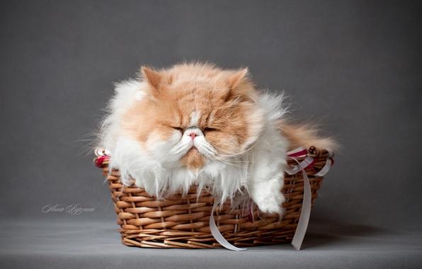 Картинка кот, пушистый, серый фон, в корзинке, перситский кот