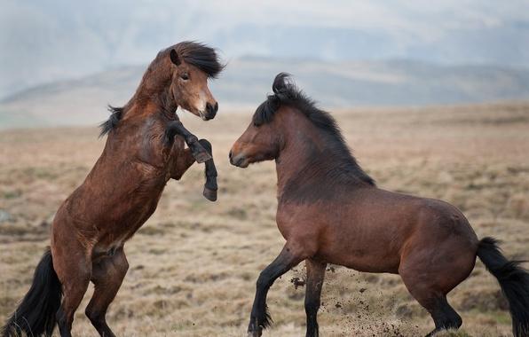 Картинка степь, игра, кони, лошади, драка, пара