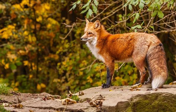 Картинка осень, лиса, рыжая, лисица