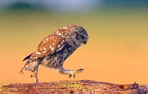 Фото обои доска, фон, сова, прогулка, шагает, дерево, текстура, птица