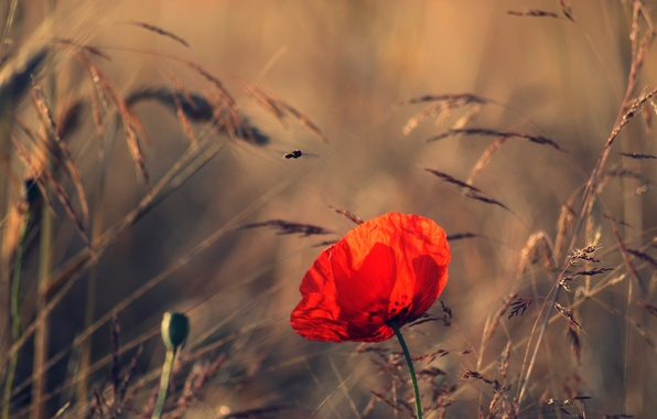Картинка поле, цветок, лето, природа, мак, вечер, колоски