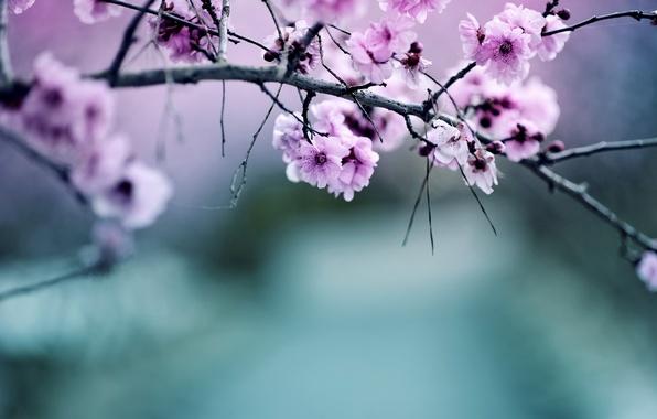 Картинка природа, цвет, ветка, яблоня