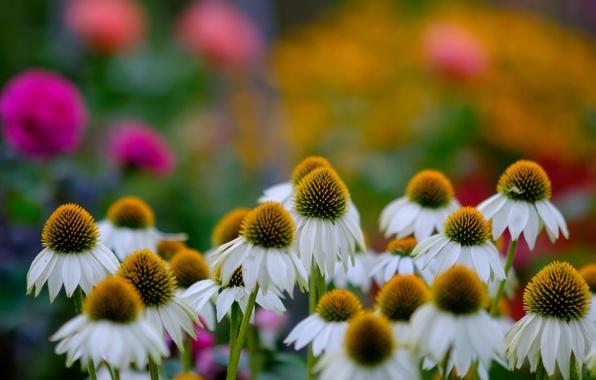 Картинка цветы, ромашки, боке