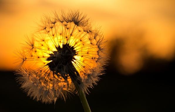 Картинка цветок, закат, одуванчик, былинки