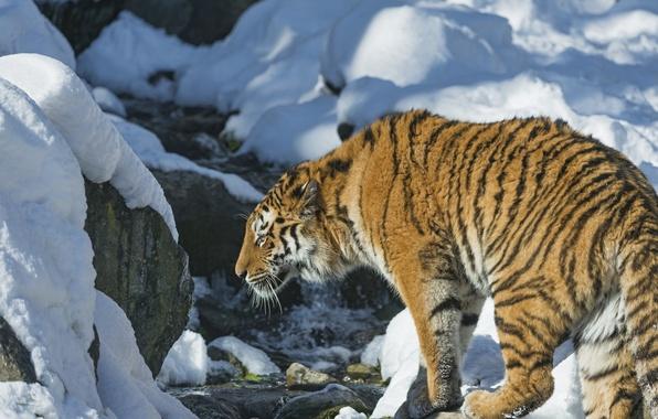 Картинка снег, тигр, хищник, дикая кошка
